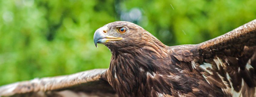 Aigle albanais un symbole fort - Les 4 Couleurs